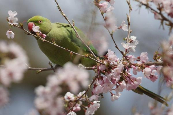 bird-cherry-blossom