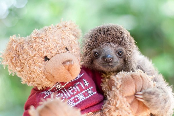 cute-baby-sloth-institute-costa-rica-sam-trull-16