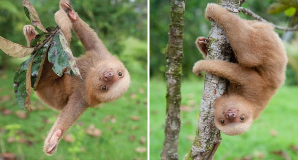cute-baby-sloth-institute-costa-rica-sam-trull-31