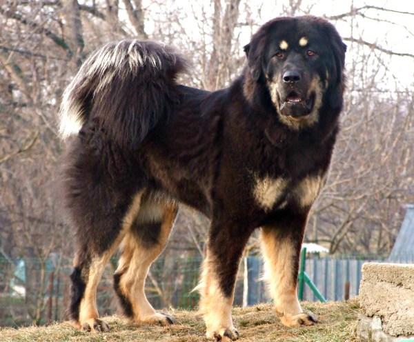 Tibetan Mastiffs