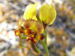 donkey orchid enhanced_1022x764