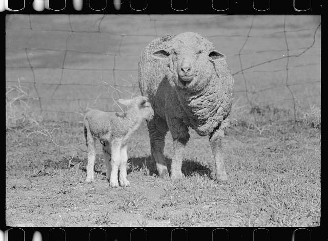 Ewe and newborn lamb, Madison County, Montana.  1939 summer.  Arthur Rothstein, photographer.