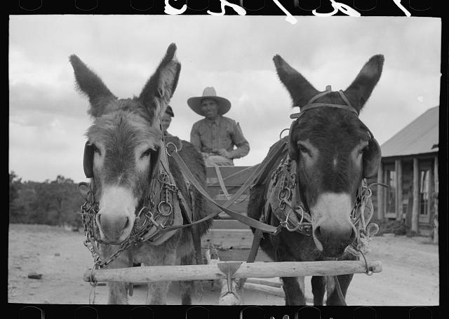 Burros pulling cart which Mr. Leatherman, homesteader, is driving.  June 1940