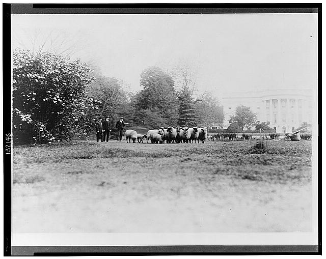Three men with White House sheep on south lawn.  (Between 1909 and 1932)