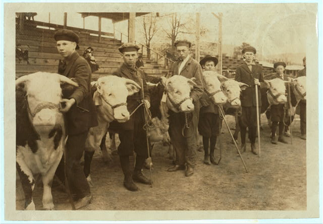 Boys judging prize heifers at 4 H Club Fair at Charleston, W. Va. Location: Charleston, West Virginia / Photo by Lewis W. Hine.  1921 October