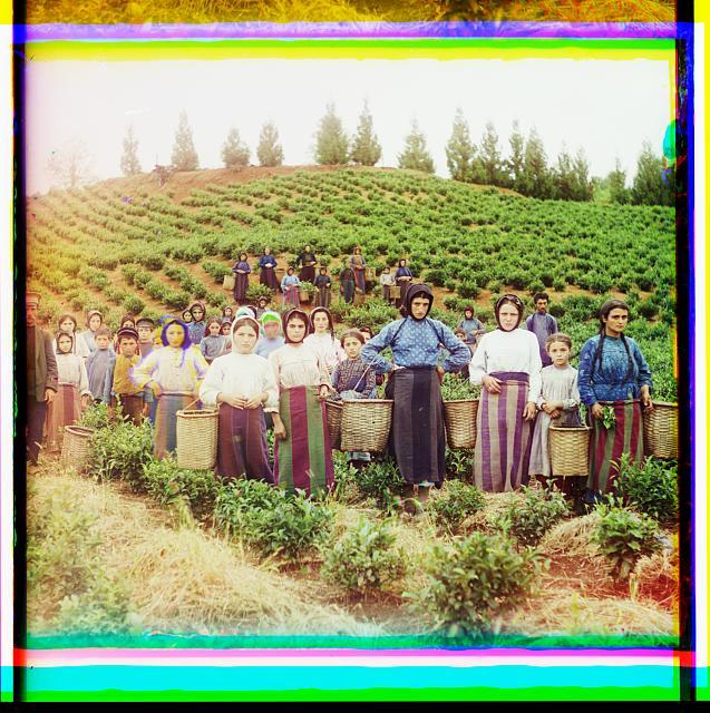 Group of workers harvesting tea. Greek women