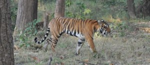 Cropped tiger