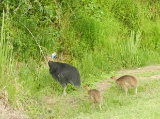Cassowaries are endangered species