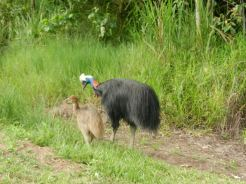 Male cassowary named Nickleback and one of his chicks
