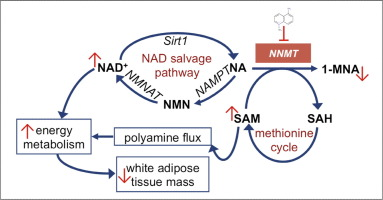 NAM metabolism2