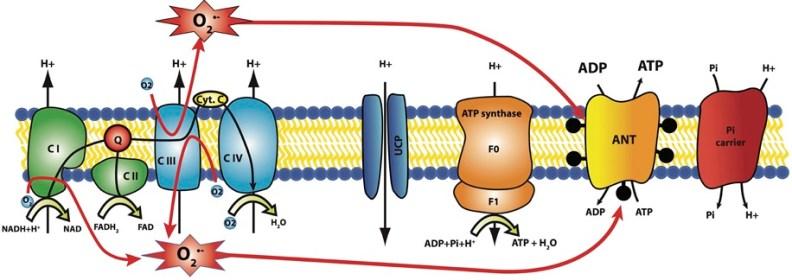 electron leak lipid poxidation_MenElite