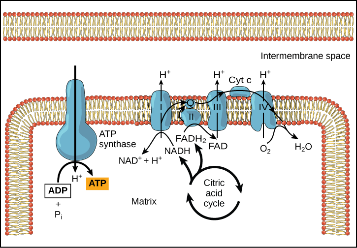 Electron transport chain fatty liver_MenElite