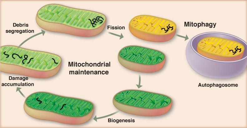 fission cellular liver health_MenElite