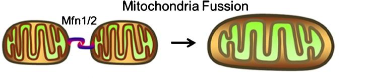 Mitochondrial fusion MenElite
