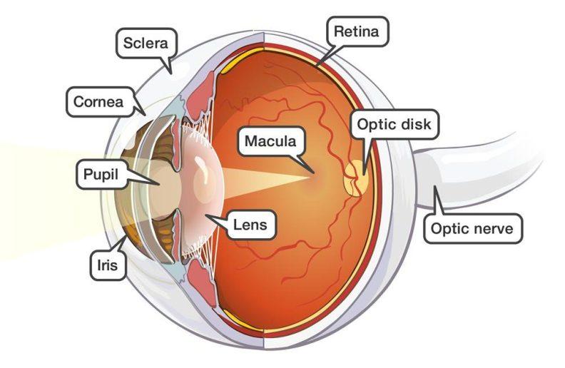 Eye anatomy restore vision MenElite