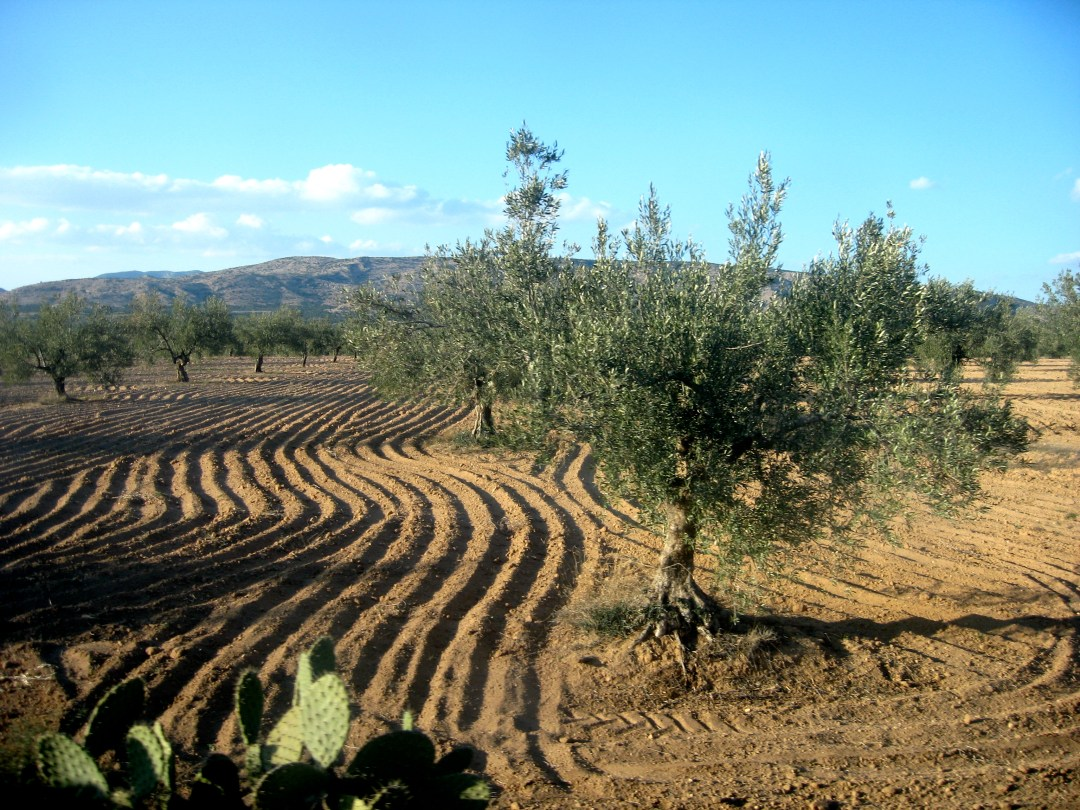 tunesian-olive-grove-1