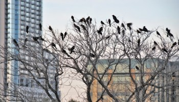 Buildings kill millions of birds. Here's how to reduce the tol