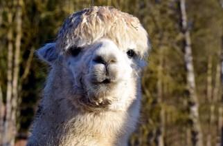 A Quick Guide to Start an Alpaca Farm Business