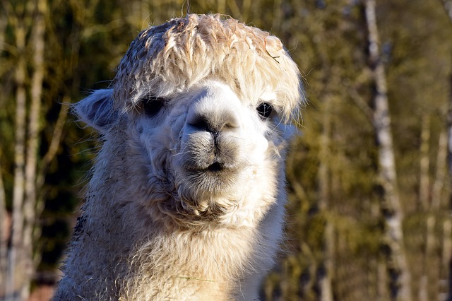 A Quick Guide to Start an Alpaca Farm Business