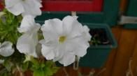 rose P1020698
