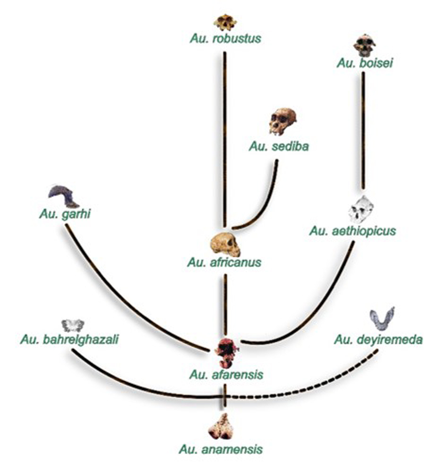 menneskets evolution stamtræ