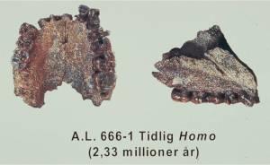 A.L. 666-1. Tidlig Homo fra Hadar, Etiopien. 2,33 millioner år.
