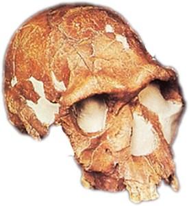 KNM-ER 1813. Homo habilis. Fundet ved Turkana-søen.