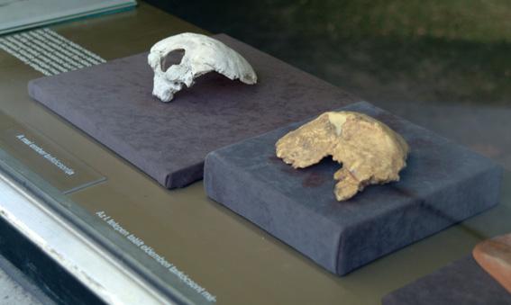 Den fossile occipetalknogle