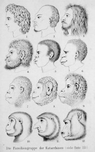 """Figur fra Ernst Haeckels Skabelsens naturhistorie, der viser """"catarrhinernes familiegruppe"""". Figuren var tænkt som illustration af det yderst vigtige faktum, at de """"laveste menneskeracer"""" (figur 4 - 6: australnegeren, afronegeren og tasmanieren) var meget tættere på de """"højeste menneskeaber"""" (figur 7 - 9: gorilla, chimpanse og orangutang) end de """"højeste menneskeracer (figur 1: indogermaneren - her fremstillet som det antikke græske ideal). Figur 2: kineser; figur 3: person fra Ildlandet; figur 10: gibbon; figur 11: næseabe og figur 12: mandril"""