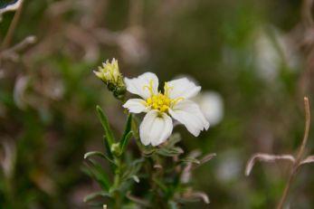 White Desert Zinnia
