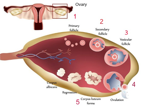 What Does Ovulation Mean: A Simple Definition Of Ovulation