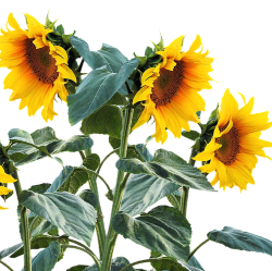 3 Sunflowers with lots of green leaves