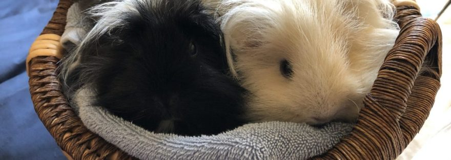 guinea pigs Oreo and Cookie sitting in a basket
