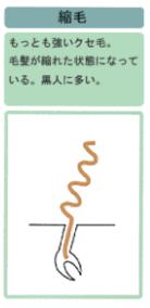 縮毛の図解