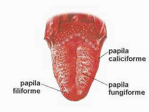 papille gustative e posizioni sulla lingua