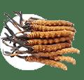 Cordyceps (Кордицепс)