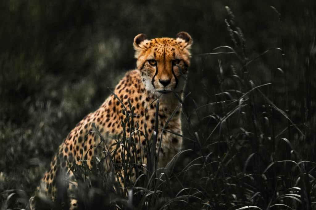 cheetah on grass