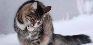 Muntah pada kucing