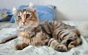 Kucing ikal amerika