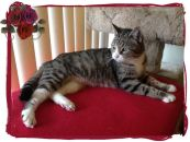 Josie is a tabby with white paws and a white bib. She has a cute little short tail and adorable round face.