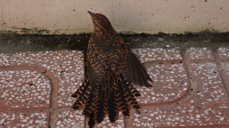 Chim Sa Cá Nhảy Là Gì? Giải Thích Hiện Tượng Chim Bay Vào Nhà