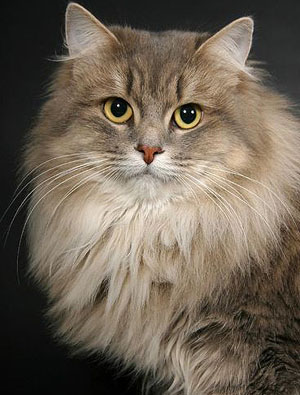 Description Of A Siberian Cat | Cat Breeds And Types Of Cats