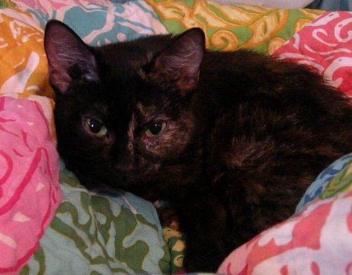 cerebellar hypoplasia wobbly tortie cats