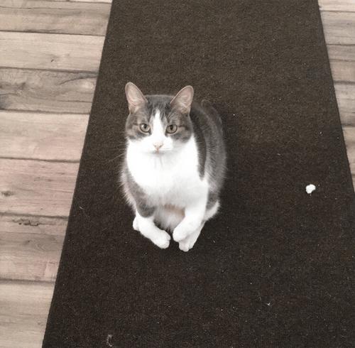 radial hypoplasia squitten cat