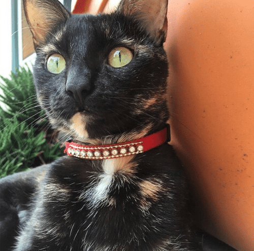 tortie cat with unique back legs