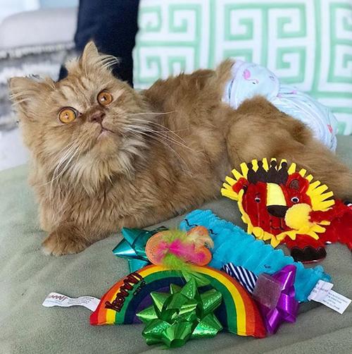 incontinent persian cat