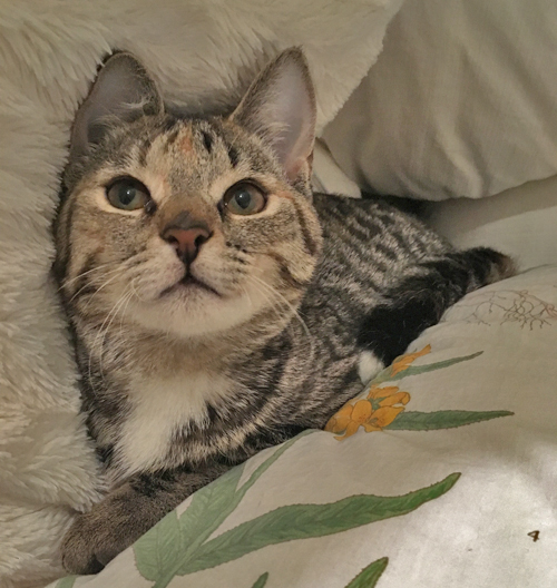ch cerebellar hypoplasia kitten