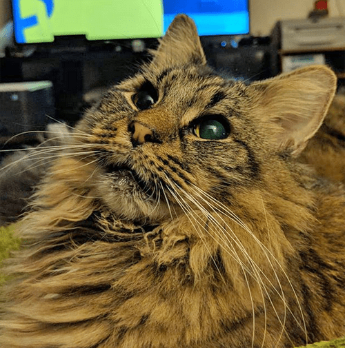 blind deaf maine coon cat dog best friend