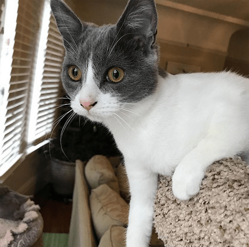 rh cats radial hypoplasia kitten