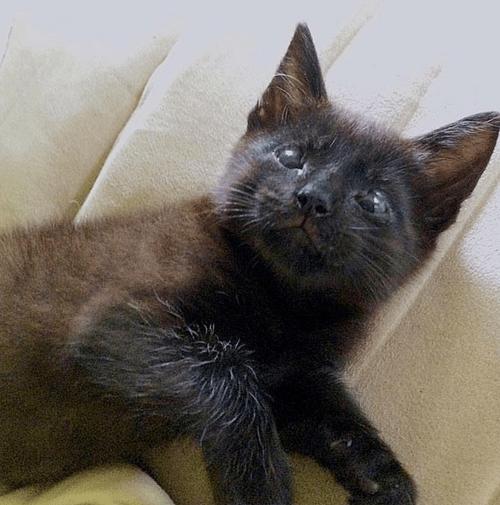 black cat eyelid agenesis